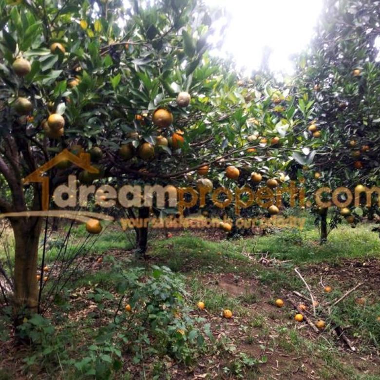 Kebun jeruk murah di bumiaji batu | DREAMPROPERTI