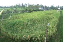 Dijual Tanah Pertanian Jalur Utama Pariwisata Jatiluwih ( Desa Babahan )
