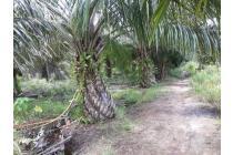Tanah  380.000 m2  dan Kebun Sawit di Punggur Besar