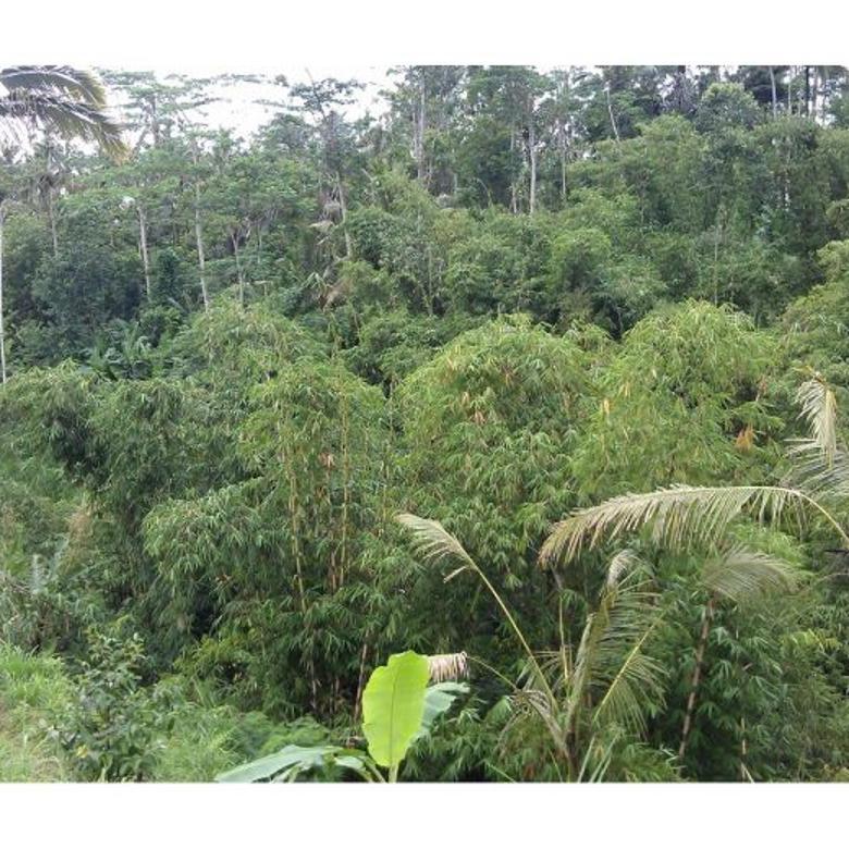 Tanah Kebun Manggis di Ubud Utara