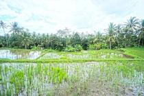 T.341 - 300 sqm plot surrounded by a vast rice field. 25 minutes from centr