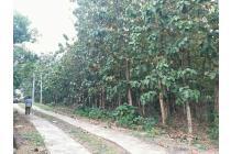 Jual Cepat (BU ) : Lahan 7631 m2 Include Hutan Jati Siap Panen Murah