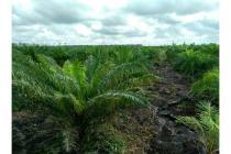Tanah Sawit Murah 3 Ha di Palangkaraya Kalteng