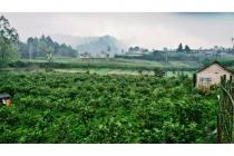 Tanah kebun  apel produktiv samping coban talun batu