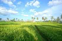 LL.352 - 1/4 ha (2.500sqm) in a favorite area just 2.5 km from Ubud. Rice f