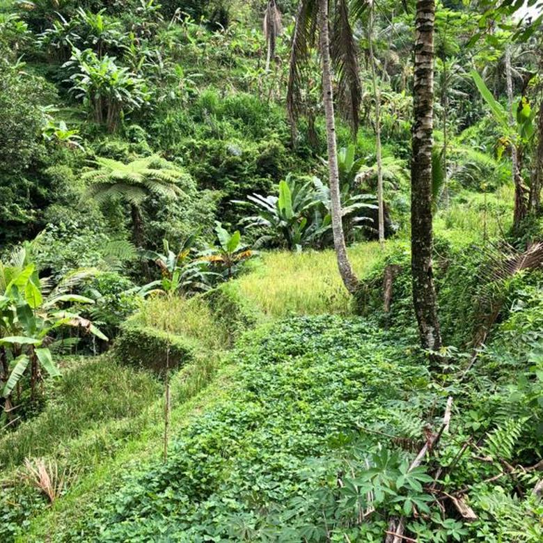 Land View Rice Terrace. The Ubud Tegal Alang. Pujung Kaja