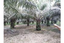 Kebun Sawit Murah