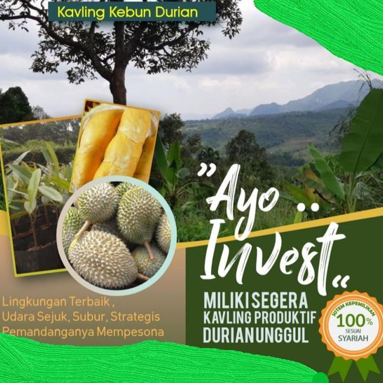 Kavling kebun Durian, banyak untungnya. Siap panen tiap tahun