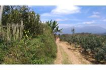 Tanah perkebunan apel luas dan murah di Junggo Kota Batu