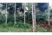 Dijual Tanah Hutan Milik Kebun Jati Sengon dll Permeter dua puluh ribu
