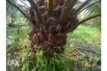Kebun Sawit 16 hektar SHM
