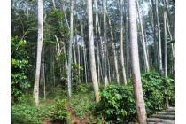 dijual tanah hutan purwakarta invest jati dan sengon