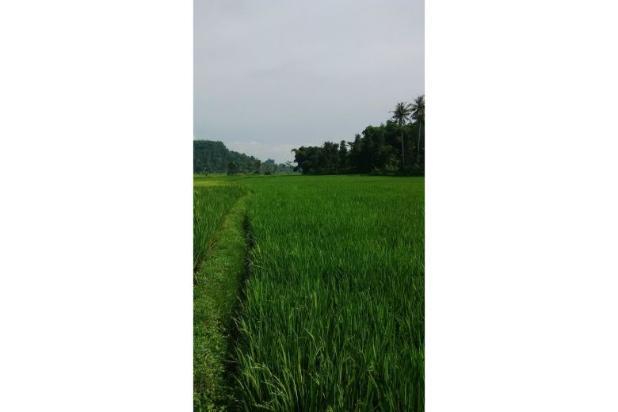Tanah Subur untuk Pertanian Padi di Kecamatan Cilaku, Desa Sukasari Cianjur 5839650