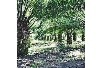 Kebun Sawit Dijual di Aceh Utara