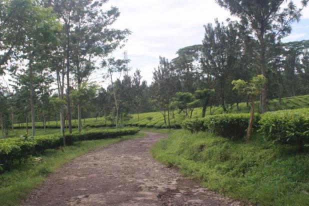 Investasi Kavling Villa Puncak Cipanas, berada dikawasan kebun teh Gedeh 16225320