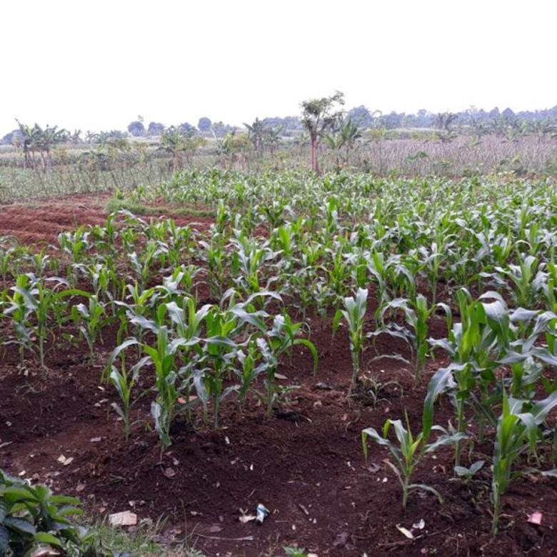 Lahan kebun jagung dengan view gn salak sukajadi tamansari bogor